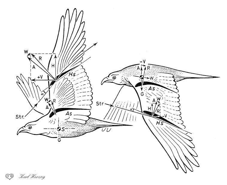 Explore Birds In Flight Drawing Reference And More
